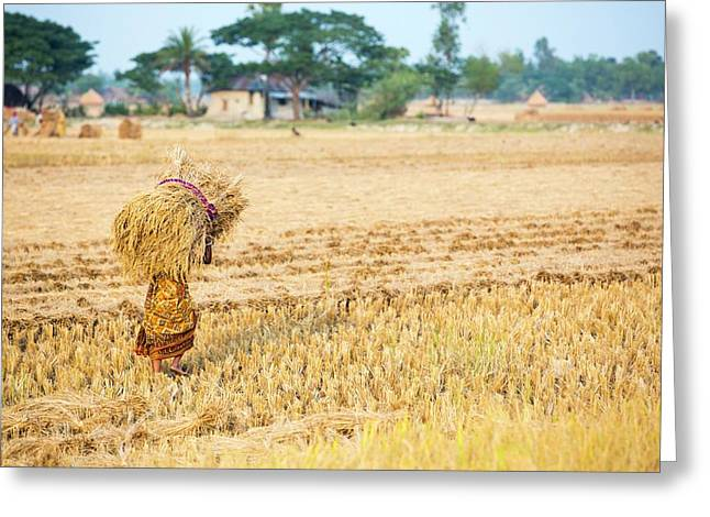 Rice Crops Harvested Greeting Card