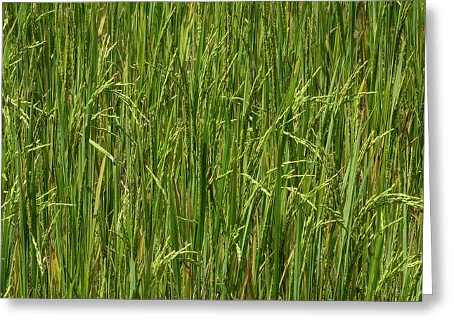 Rice Field At Lunuganga, Bentota Greeting Card by Panoramic Images