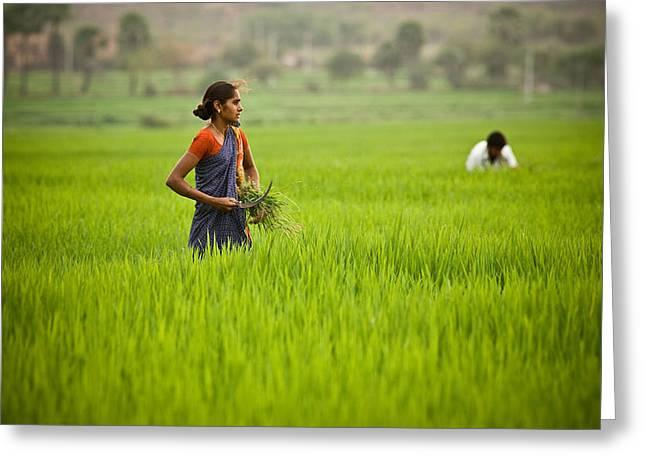 Rice Harvest Greeting Card