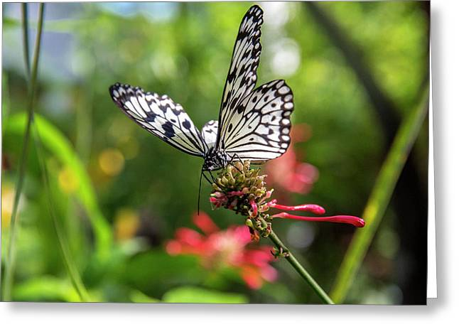 Rice Paper Butterfly (idea Leuconoe Greeting Card