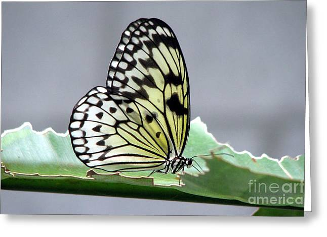 Rice Paper Butterfly On A Leaf Greeting Card by Inspired Nature Photography Fine Art Photography
