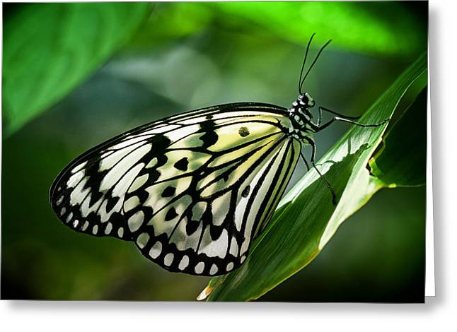 Greeting Card featuring the photograph Rice Paper Butterfly by Zoe Ferrie