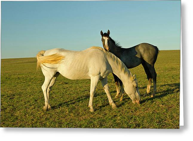 Riding Horses On Ranch Near Gonzales Greeting Card by Larry Ditto