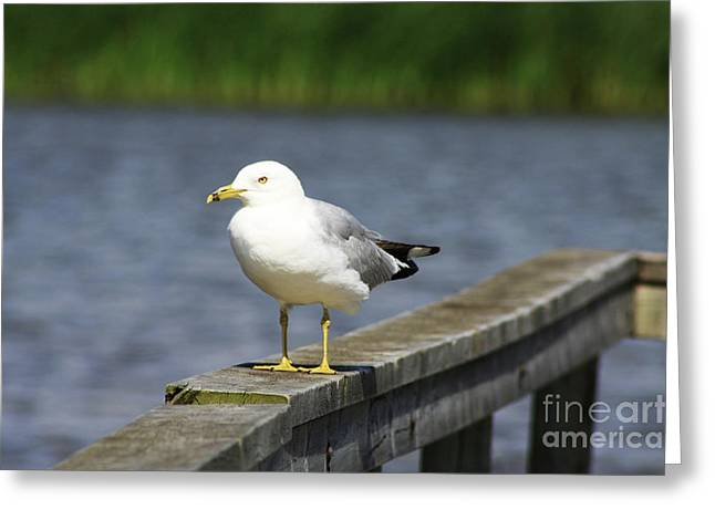Greeting Card featuring the photograph Ring-billed Gull by Alyce Taylor