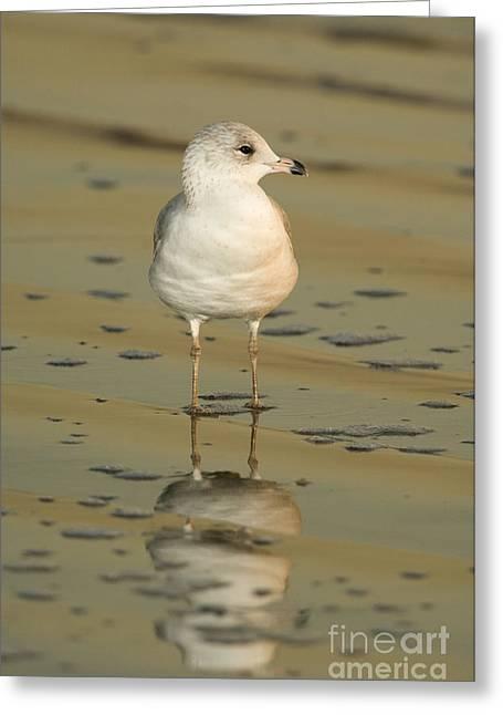 Ring-billed Gull Greeting Card by John Shaw
