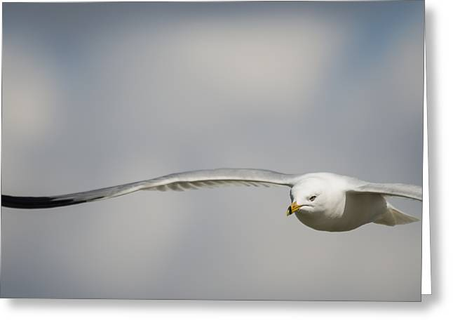 Ring Billed Gull On A Mission Greeting Card by Loree Johnson