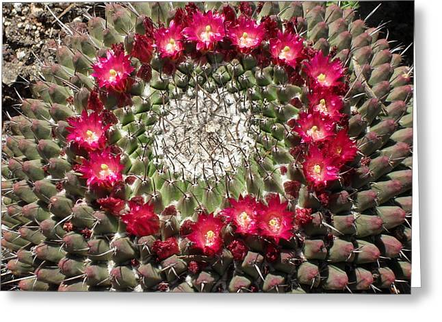 Ring Of Red Cactus Flowers Greeting Card