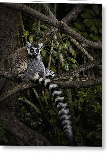 Greeting Card featuring the photograph Ring Tailed Lemur by Kim Andelkovic