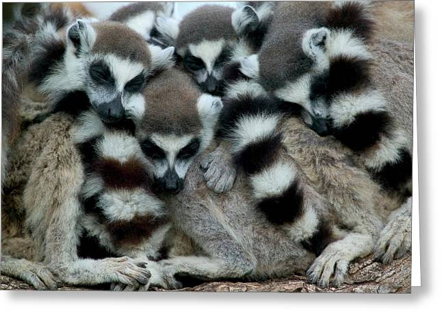 Ring-tailed Lemur Lemur Catta Group Greeting Card by Cyril Ruoso