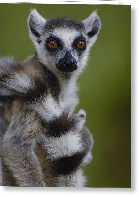 Ring-tailed Lemur Portrait  Berenty Greeting Card by Pete Oxford