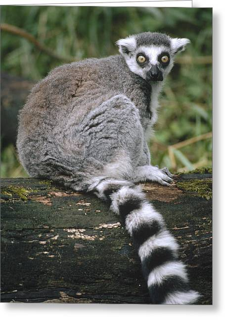 Ring-tailed Lemur Portrait Madagascar Greeting Card