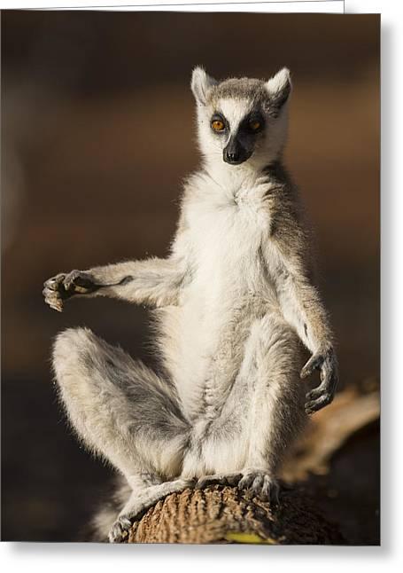 Ring-tailed Lemur Sunning Berenty Greeting Card