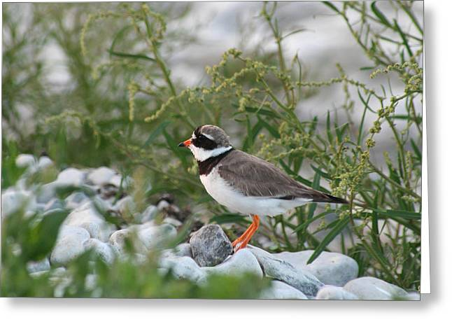 Ringed Plover On Rocky Shore Greeting Card