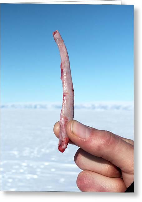 Ringed Seal Penis Bone Greeting Card