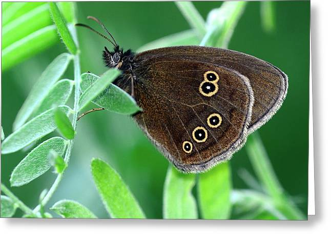 Ringlet Butterfly Greeting Card by Colin Varndell