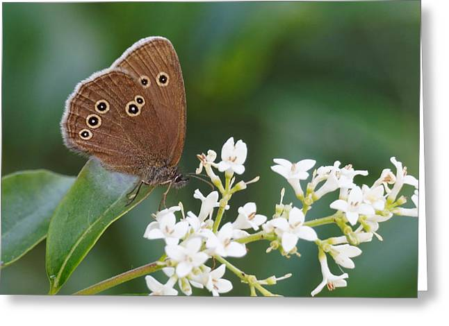 Greeting Card featuring the photograph Ringlet Butterfly by Paul Gulliver