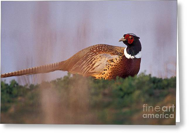 Ringneck Pheasant Phasianus Colchicus Greeting Card by Ron Sanford