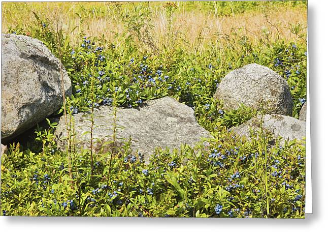Ripe Maine Low Bush Wild Blueberries Greeting Card by Keith Webber Jr