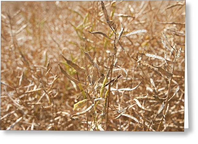 Ripe Rapeseed Crop Greeting Card by Lewis Houghton/science Photo Library