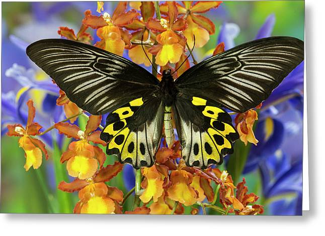 Rippon's Birdwing Butterfly, Female Greeting Card