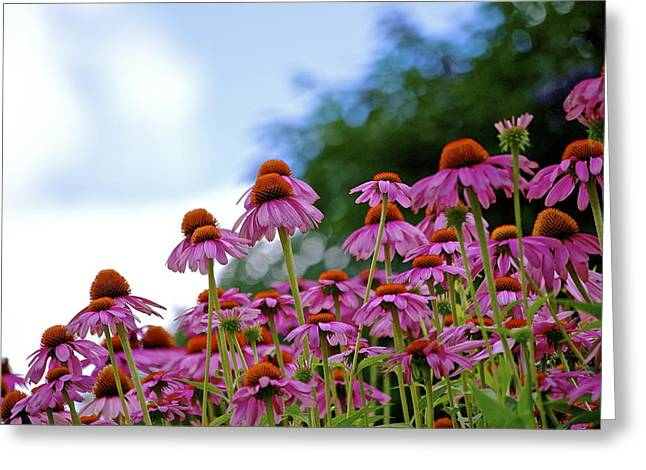 Rising Echinacea Greeting Card