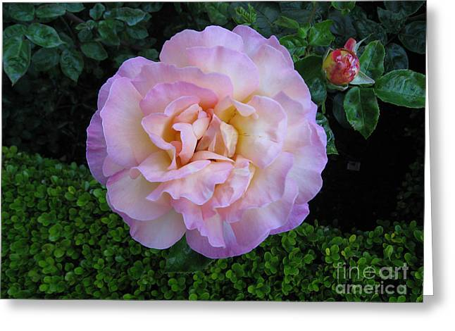 Ritzy Pink Rose Greeting Card
