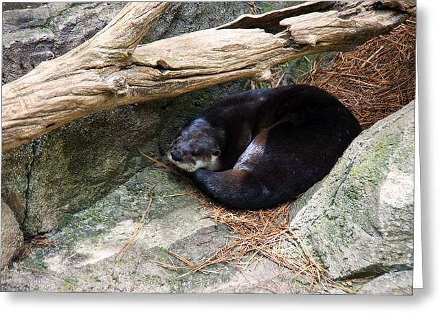 River Otter Resting Greeting Card by Chris Flees