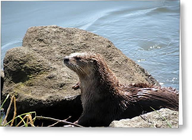 River Otter Sunning By The Lake Greeting Card by Gayle Swigart