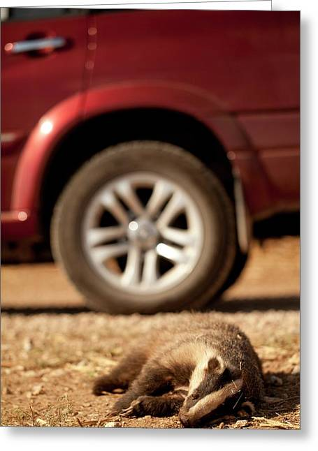 Road Kill - Badger Greeting Card by Photostock-israel