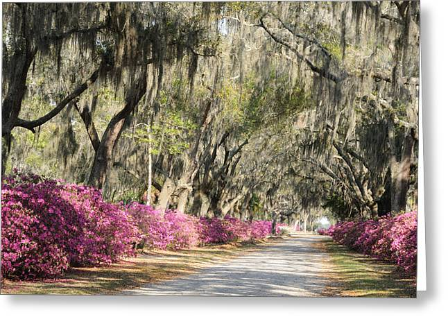 Road With Azaleas And Live Oaks Greeting Card