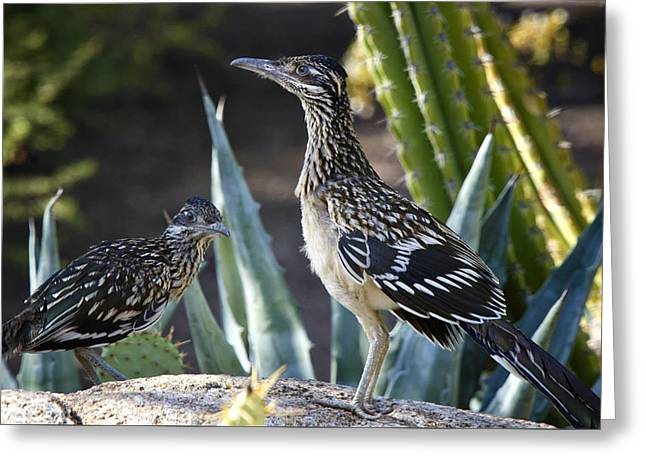 Roadrunners At Play  Greeting Card by Saija  Lehtonen