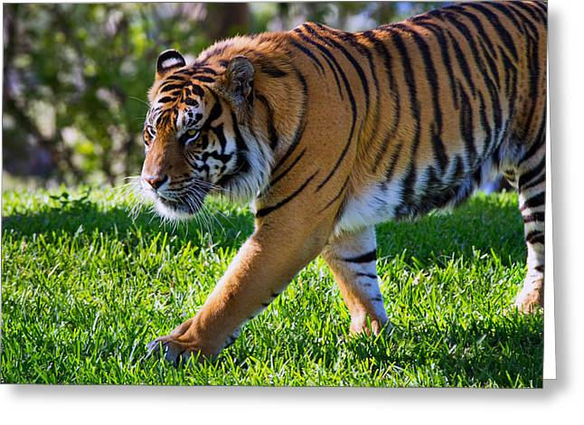 Roaming Tiger Greeting Card
