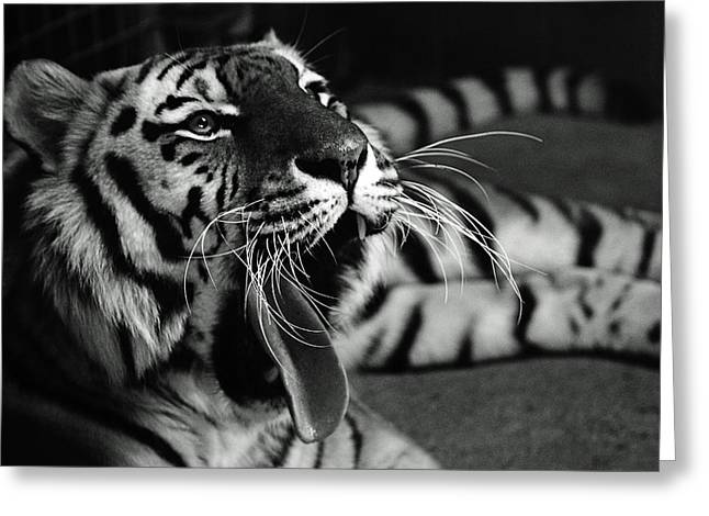 Roar Of The Tiger Greeting Card