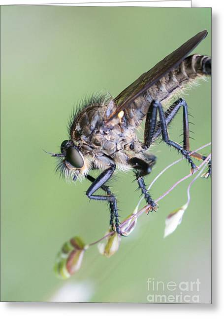 Robber Fly Asilinae Close Up Greeting Card by Jivko Nakev