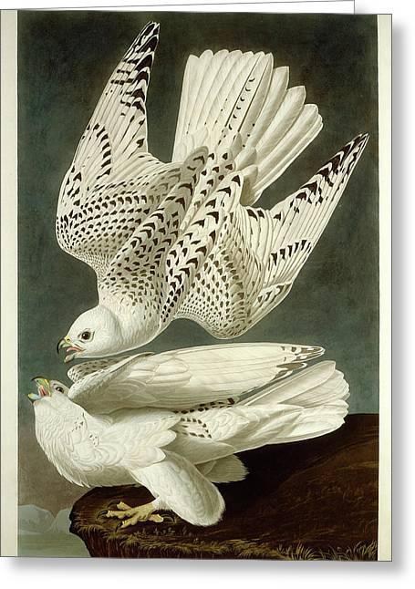 Robert Havell After John James Audubon, Iceland Or Jer Greeting Card