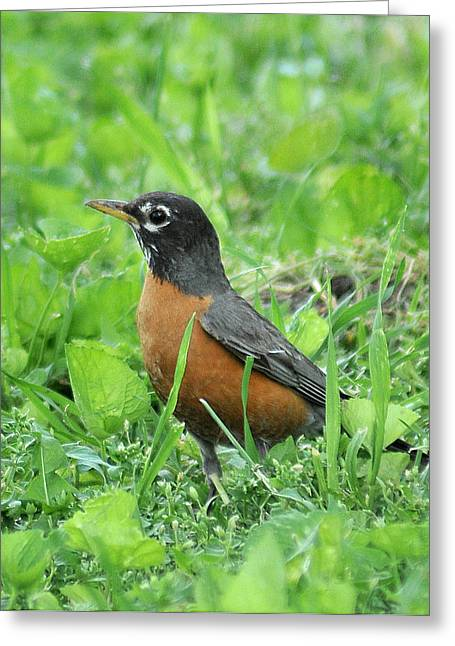 Robin 370 Greeting Card