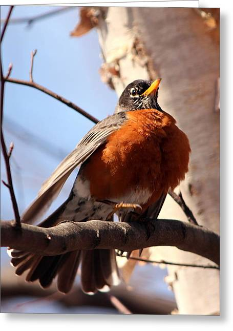 Robin Bird Greeting Card by Diane Rada