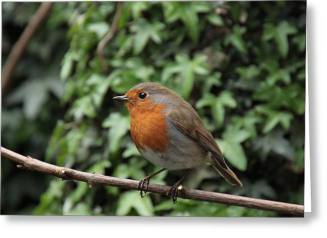 Robin Greeting Card by Peter Skelton