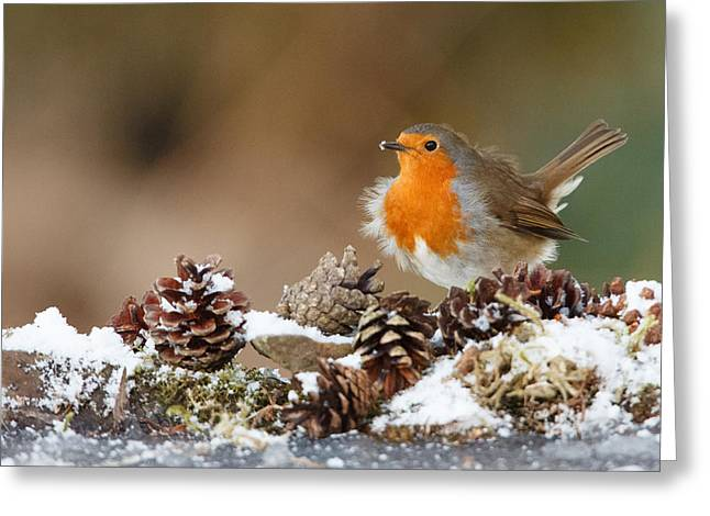 Robin Snow With Fir Cones Greeting Card by Izzy Standbridge