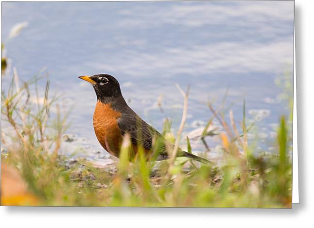 Robin Viewing Surroundings Greeting Card