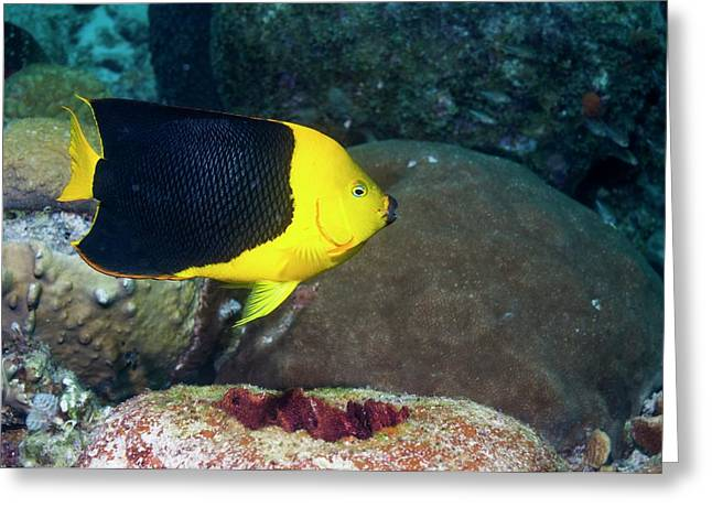 Rock Beauty On A Reef Greeting Card by Georgette Douwma
