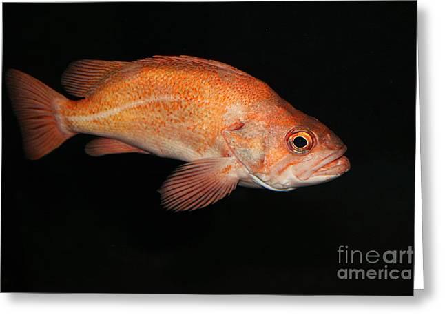 Rock Fish 5d24812 Greeting Card