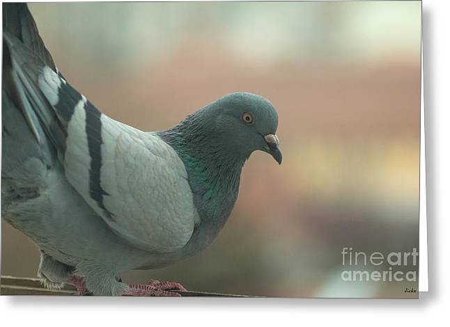 Rock Pigeon Greeting Card by Jivko Nakev