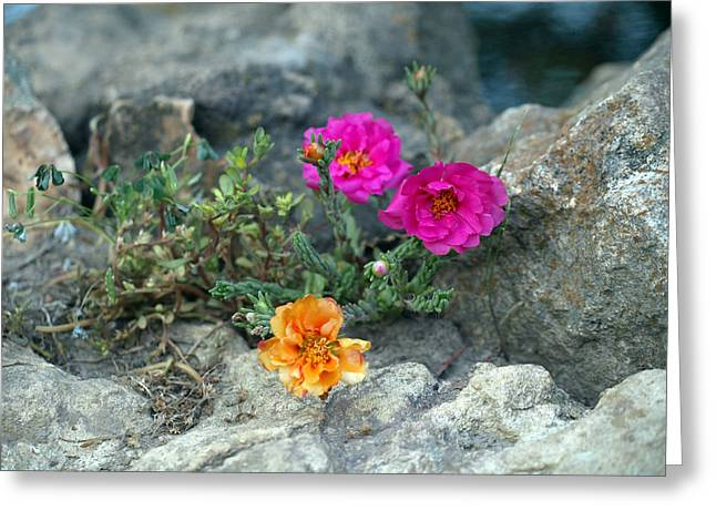 Rock Rose Greeting Card by Corina Bishop