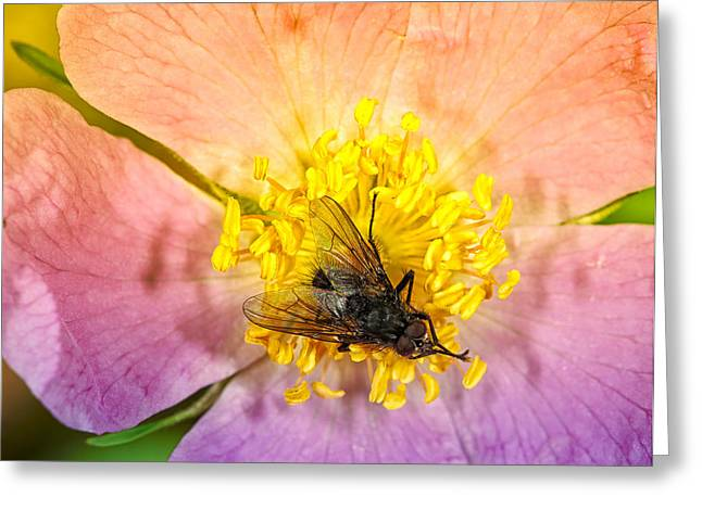 Rock Rose With A Black Fly Greeting Card by Paul W Sharpe Aka Wizard of Wonders