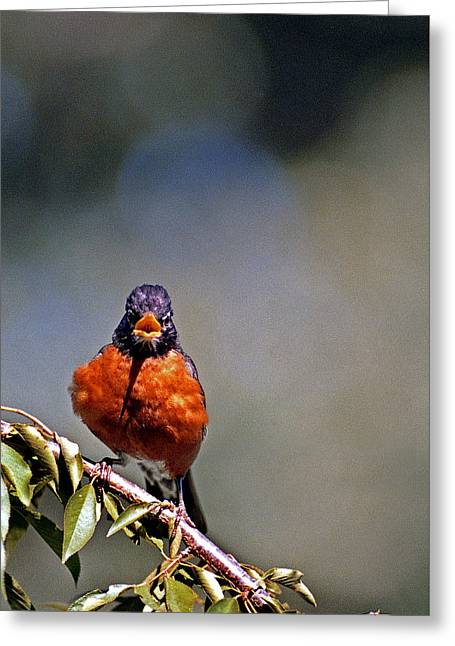 Rockin Robin Greeting Card