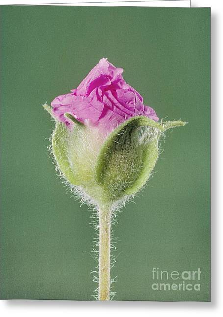 Rockrose Flowerbud Greeting Card by Claude Nuridsany and Marie Perennou