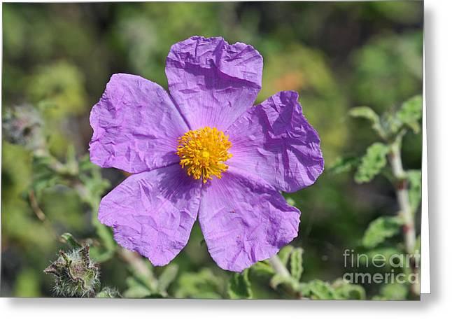 Rockrose Flower Greeting Card by George Atsametakis
