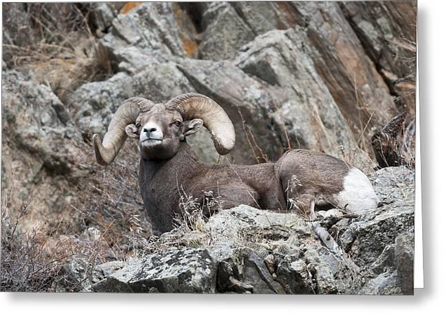 Rocky Mountain Big Horn Ram On Watch II Greeting Card by Gary Langley