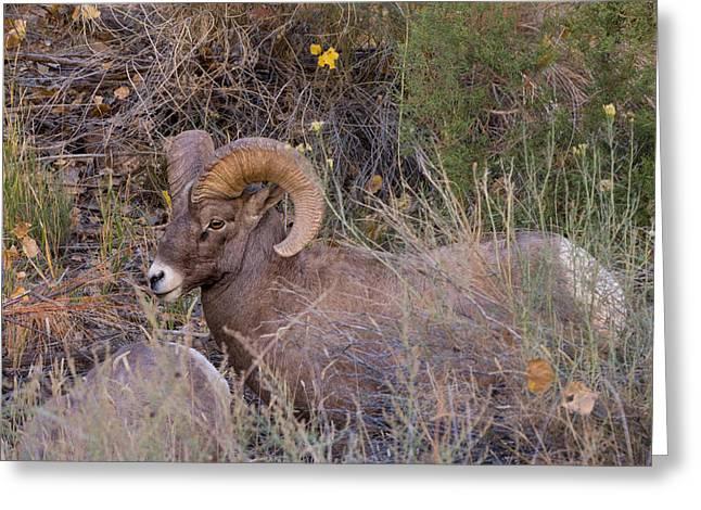 Rocky Mountain Bighorn Ram Greeting Card by Kathleen Bishop